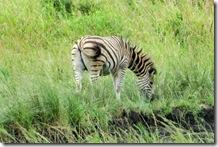 IMG_2554 (2).jpg  zebra